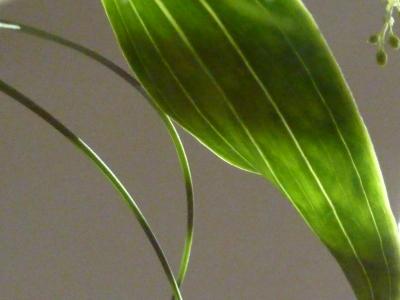 lines, leaves