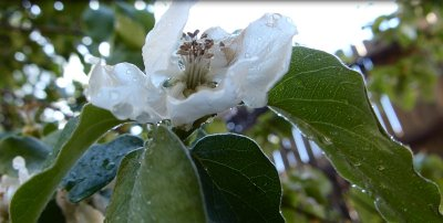 Quince blossom 4-26-2013 10-43-14 PM