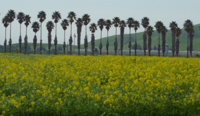 wild mustard & palm trees - cropped
