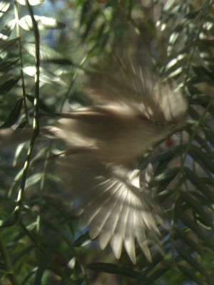 Wings in the Willow (I think it's a small wren launching off from a pepper tree branch)